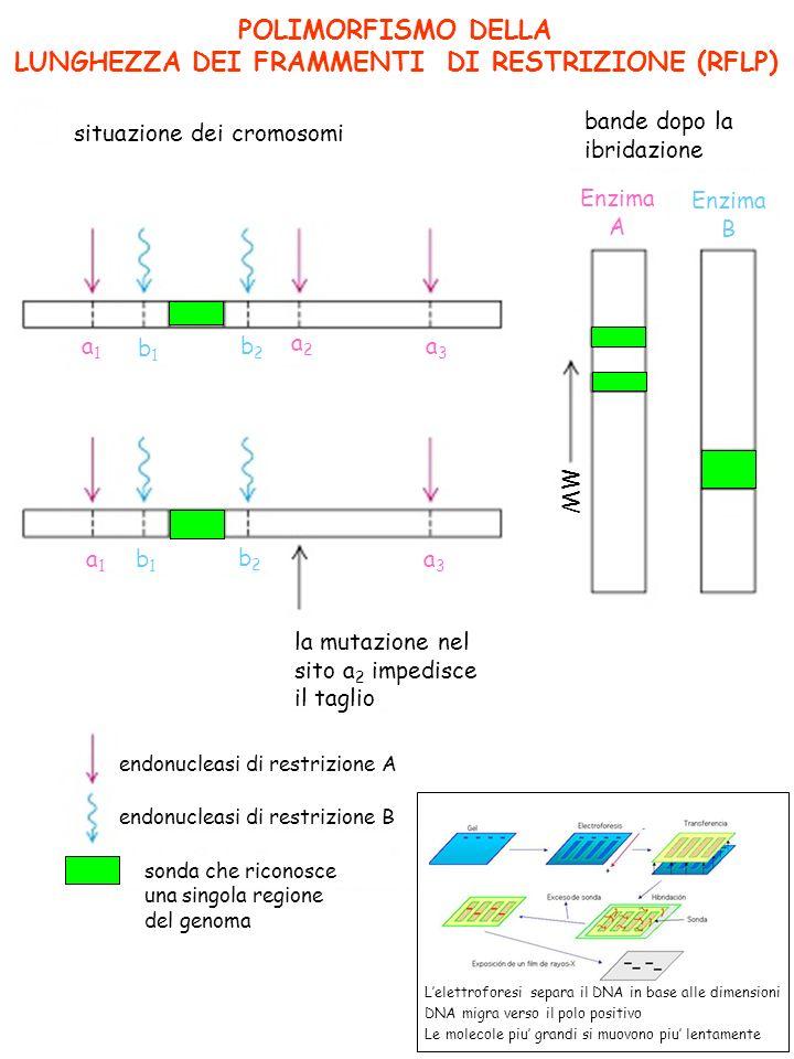 POLIMORFISMO DELLA LUNGHEZZA DEI FRAMMENTI DI RESTRIZIONE (RFLP) situazione dei cromosomi bande dopo la ibridazione la mutazione nel sito a 2 impedisce il taglio endonucleasi di restrizione A endonucleasi di restrizione B sonda che riconosce una singola regione del genoma MW Enzima A Enzima B a2a2 a3a3 a3a3 a1a1 b1b1 b2b2 b2b2 b1b1 a1a1 Lelettroforesi separa il DNA in base alle dimensioni DNA migra verso il polo positivo Le molecole piu grandi si muovono piu lentamente