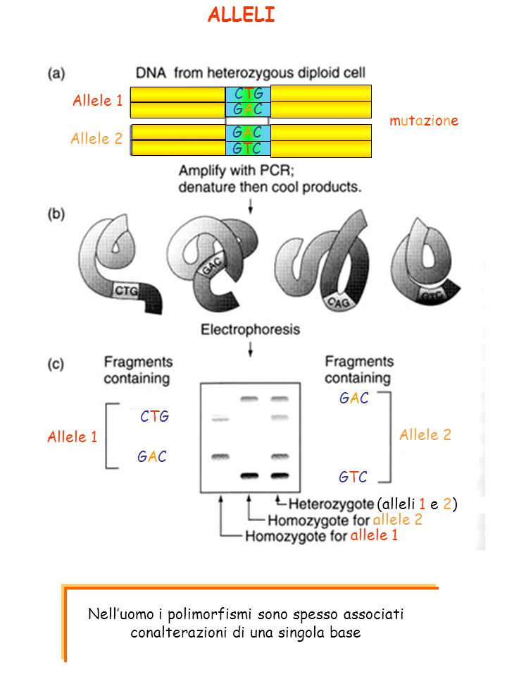 ALLELI mutazionemutazione GACGAC CTGCTG GACGAC GTCGTC Allele 2 Allele 1 Allele 2 CTGCTG GACGAC GACGAC GTCGTC (alleli 1 e 2) allele 2 allele 1 Nelluomo i polimorfismi sono spesso associati conalterazioni di una singola base
