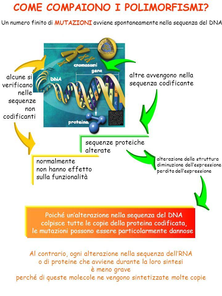 COME COMPAIONO I POLIMORFISMI? Un numero finito di MUTAZIONI avviene spontaneamente nella sequenza del DNA altre avvengono nella sequenza codificante