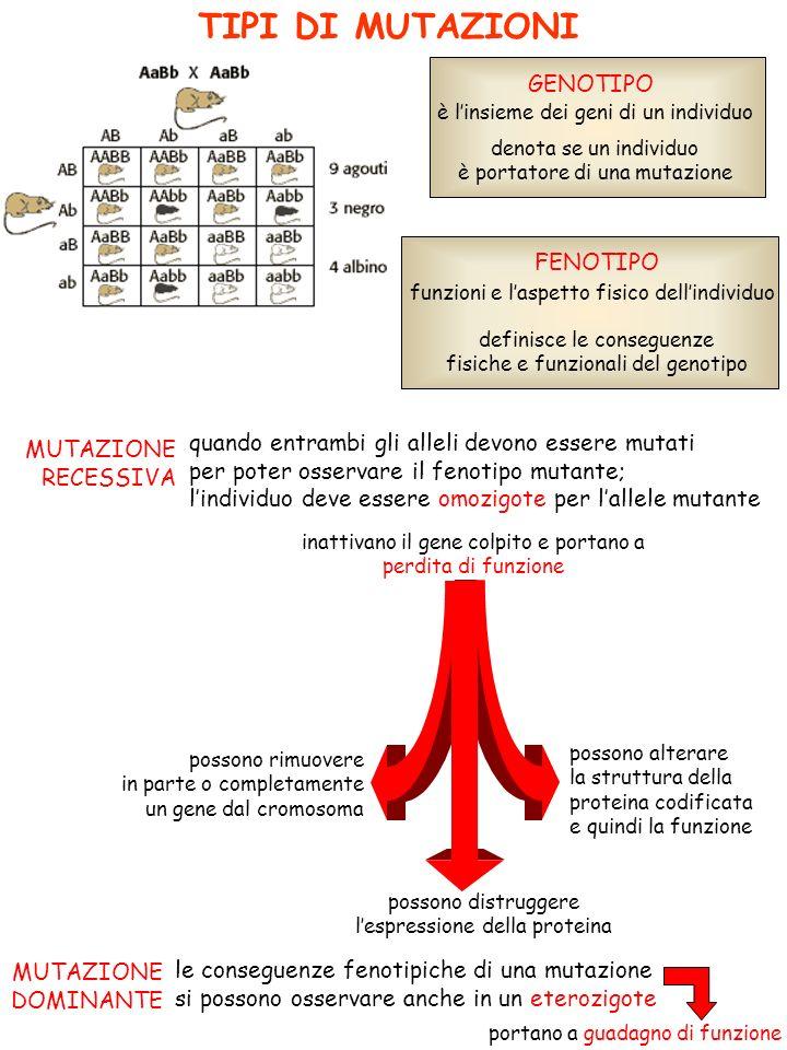 TIPI DI MUTAZIONI GENOTIPO FENOTIPO è linsieme dei geni di un individuo funzioni e laspetto fisico dellindividuo denota se un individuo è portatore di una mutazione definisce le conseguenze fisiche e funzionali del genotipo MUTAZIONE RECESSIVA quando entrambi gli alleli devono essere mutati per poter osservare il fenotipo mutante; lindividuo deve essere omozigote per lallele mutante MUTAZIONE DOMINANTE le conseguenze fenotipiche di una mutazione si possono osservare anche in un eterozigote inattivano il gene colpito e portano a perdita di funzione possono rimuovere in parte o completamente un gene dal cromosoma possono alterare la struttura della proteina codificata e quindi la funzione possono distruggere lespressione della proteina portano a guadagno di funzione