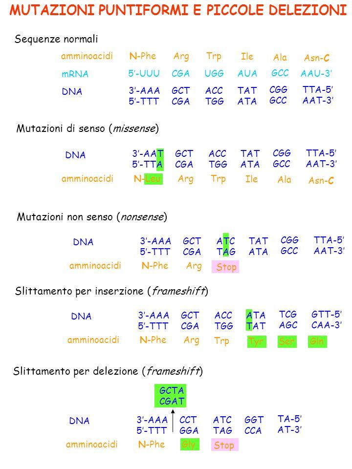 MUTAZIONI PUNTIFORMI E PICCOLE DELEZIONI Sequenze normali amminoacidi Mutazioni di senso (missense) Mutazioni non senso (nonsense) mRNA DNA N-PheArgTrp Ile Ala Asn-C 5-UUUCGAUGGAUA GCC AAU-3 3-AAA 5-TTT GCT CGA ACC TGG TAT ATA CGG GCC TTA-5 AAT-3 amminoacidi DNA N-LeuArgTrp Ile Ala Asn-C 3-AAT 5-TTA GCT CGA ACC TGG TAT ATA CGG GCC TTA-5 AAT-3 amminoacidi DNA N-PheArg 3-AAA 5-TTT GCT CGA ATC TAG TAT ATA CGG GCC TTA-5 AAT-3 Stop Slittamento per inserzione (frameshift) amminoacidi DNA N-PheArg 3-AAA 5-TTT GCT CGA ACC TGG ATA TAT TCG AGC GTT-5 CAA-3 Slittamento per delezione (frameshift) amminoacidi DNA N-PheGly 3-AAA 5-TTT CCT GGA ATC TAG GGT CCA TA-5 AT-3 Trp Tyr Ser Gln Stop GCTA CGAT