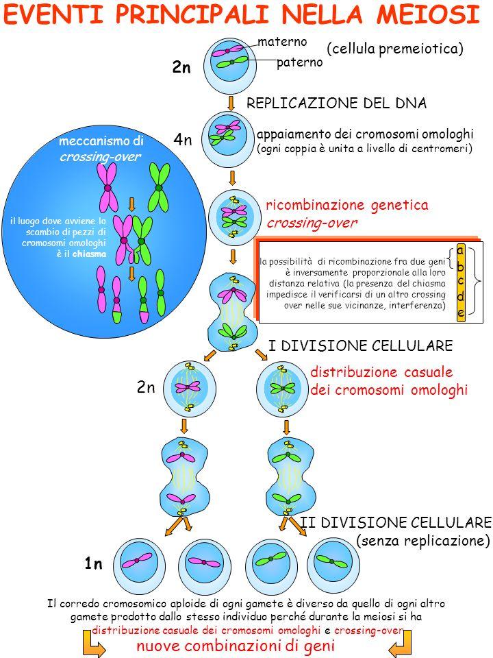 EVENTI PRINCIPALI NELLA MEIOSI Il corredo cromosomico aploide di ogni gamete è diverso da quello di ogni altro gamete prodotto dallo stesso individuo perché durante la meiosi si ha distribuzione casuale dei cromosomi omologhi e crossing-over 2n materno paterno REPLICAZIONE DEL DNA ricombinazione genetica crossing-over 4n I DIVISIONE CELLULARE II DIVISIONE CELLULARE (senza replicazione) 2n 1n (cellula premeiotica) distribuzione casuale dei cromosomi omologhi il luogo dove avviene lo scambio di pezzi di cromosomi omologhi è il chiasma la possibilità di ricombinazione fra due geni è inversamente proporzionale alla loro distanza relativa (la presenza del chiasma impedisce il verificarsi di un altro crossing over nelle sue vicinanze, interferenza) meccanismo di crossing-over appaiamento dei cromosomi omologhi (ogni coppia è unita a livello di centromeri) nuove combinazioni di geni a b c d e