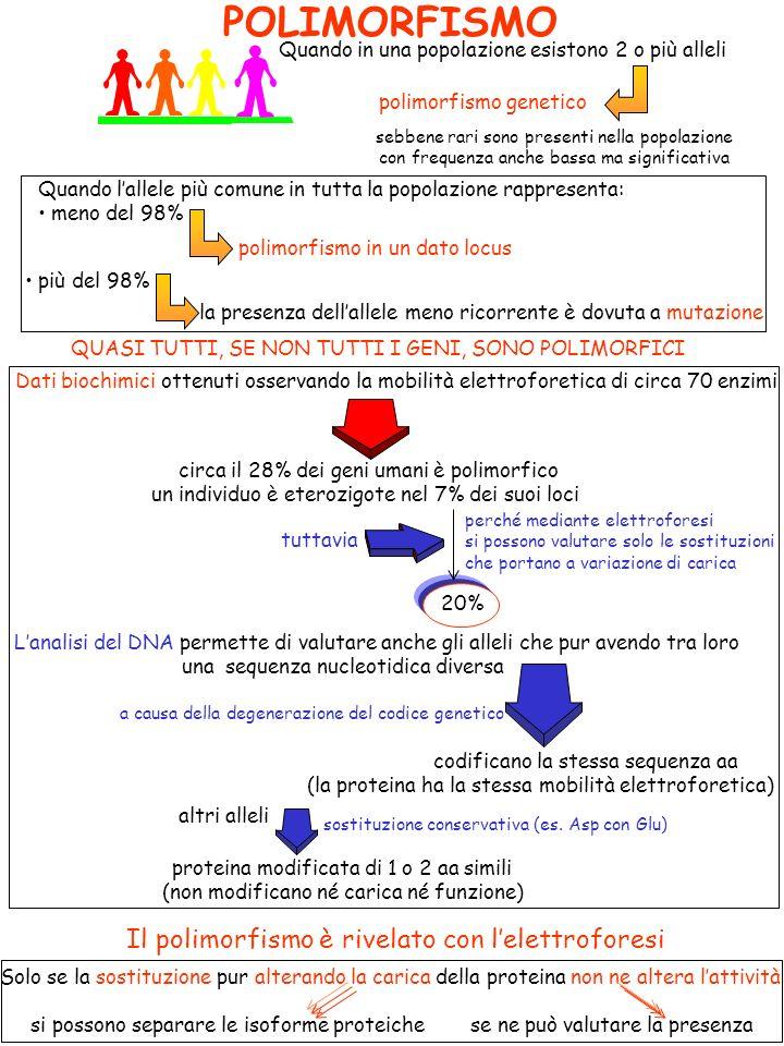 POLIMORFISMO Quando in una popolazione esistono 2 o più alleli sebbene rari sono presenti nella popolazione con frequenza anche bassa ma significativa