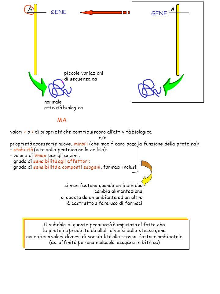 A A GENE piccole variazioni di sequenza aa normale attività biologica MA valori > o < di proprietà che contribuiscono allattività biologica e/o propri