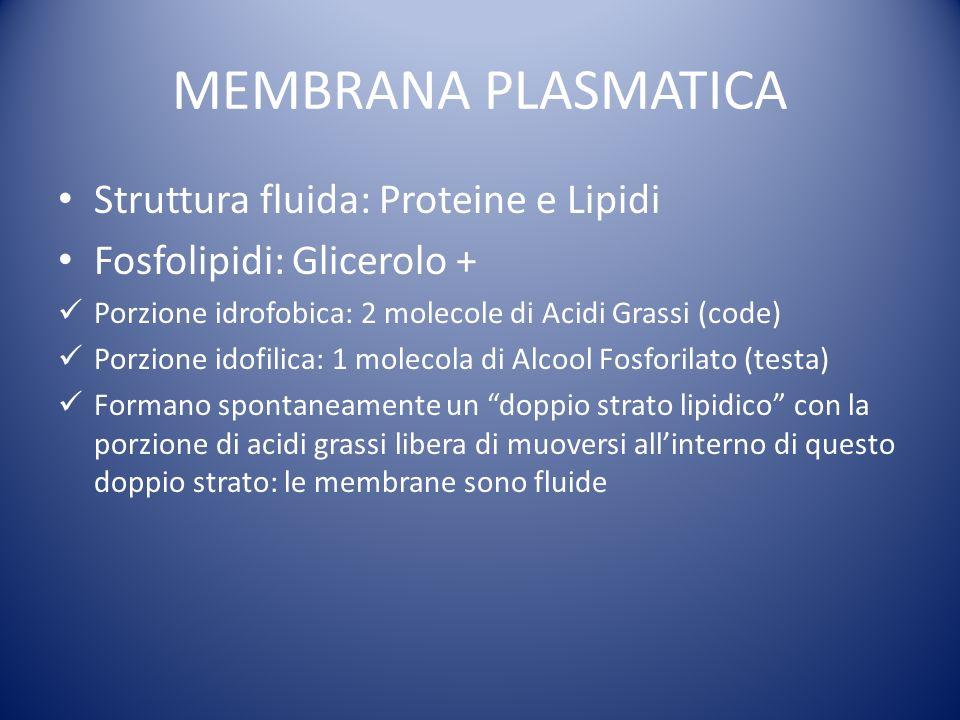MEMBRANA PLASMATICA Struttura fluida: Proteine e Lipidi Fosfolipidi: Glicerolo + Porzione idrofobica: 2 molecole di Acidi Grassi (code) Porzione idofilica: 1 molecola di Alcool Fosforilato (testa) Formano spontaneamente un doppio strato lipidico con la porzione di acidi grassi libera di muoversi allinterno di questo doppio strato: le membrane sono fluide