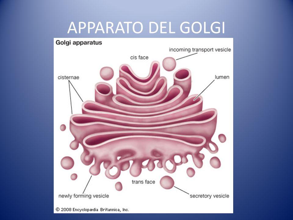 APPARATO DEL GOLGI