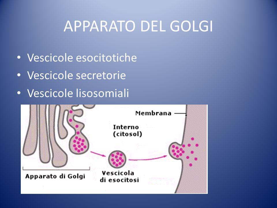 APPARATO DEL GOLGI Vescicole esocitotiche Vescicole secretorie Vescicole lisosomiali