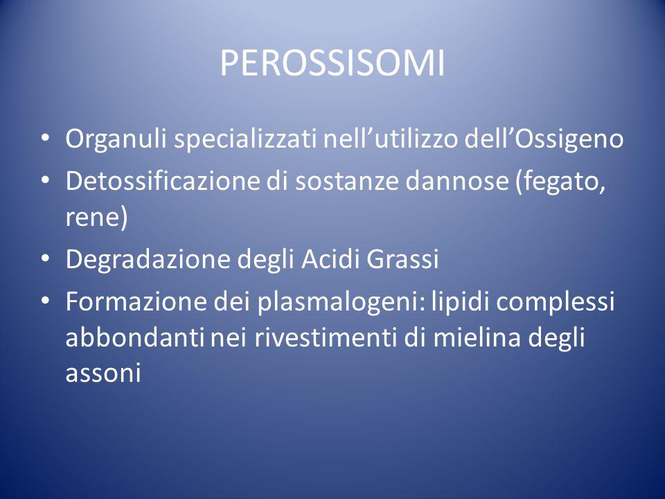 PEROSSISOMI Organuli specializzati nellutilizzo dellOssigeno Detossificazione di sostanze dannose (fegato, rene) Degradazione degli Acidi Grassi Formazione dei plasmalogeni: lipidi complessi abbondanti nei rivestimenti di mielina degli assoni