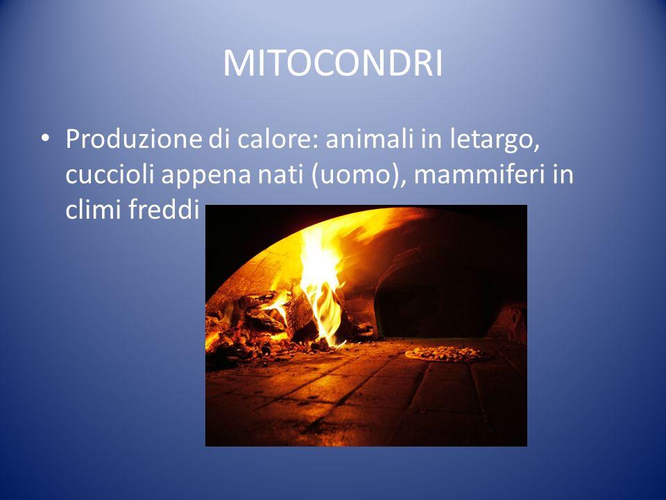 MITOCONDRI Produzione di calore: animali in letargo, cuccioli appena nati (uomo), mammiferi in climi freddi
