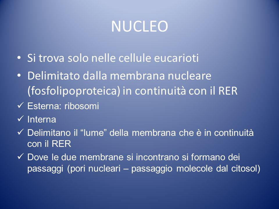 NUCLEO Si trova solo nelle cellule eucarioti Delimitato dalla membrana nucleare (fosfolipoproteica) in continuità con il RER Esterna: ribosomi Interna Delimitano il lume della membrana che è in continuità con il RER Dove le due membrane si incontrano si formano dei passaggi (pori nucleari – passaggio molecole dal citosol)