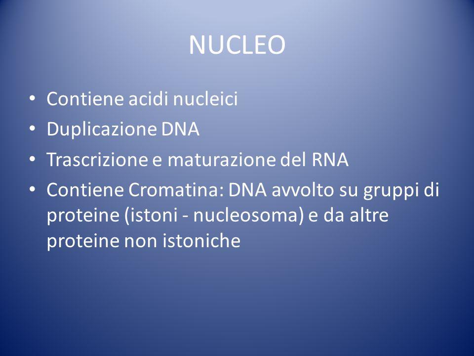 Contiene acidi nucleici Duplicazione DNA Trascrizione e maturazione del RNA Contiene Cromatina: DNA avvolto su gruppi di proteine (istoni - nucleosoma) e da altre proteine non istoniche