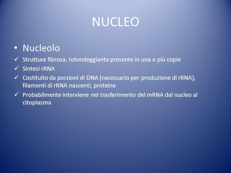 NUCLEO Nucleolo Struttura fibrosa, rotondeggiante presente in una o più copie Sintesi rRNA Costituito da porzioni di DNA (necessario per produzione di rRNA), filamenti di rRNA nascenti, proteine Probabilmente interviene nel trasferimento del mRNA dal nucleo al citoplasma