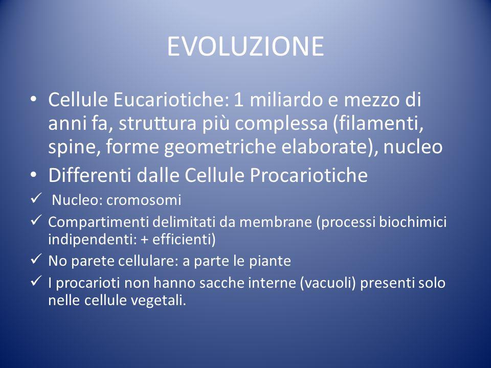 EVOLUZIONE Cellule Eucariotiche: 1 miliardo e mezzo di anni fa, struttura più complessa (filamenti, spine, forme geometriche elaborate), nucleo Differenti dalle Cellule Procariotiche Nucleo: cromosomi Compartimenti delimitati da membrane (processi biochimici indipendenti: + efficienti) No parete cellulare: a parte le piante I procarioti non hanno sacche interne (vacuoli) presenti solo nelle cellule vegetali.