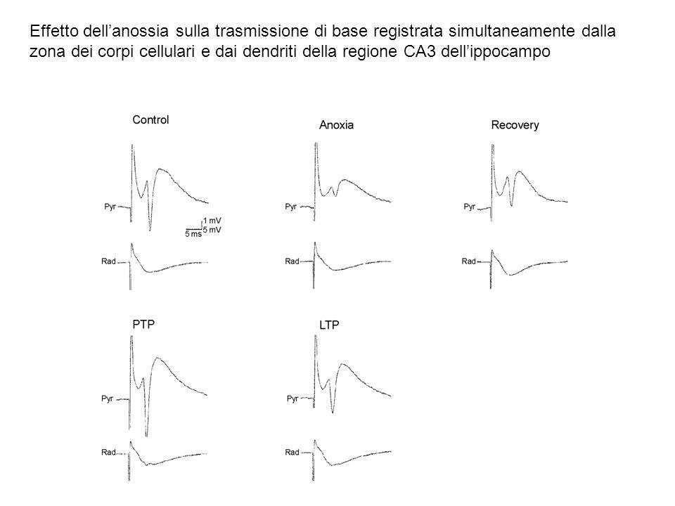 Effetto dellanossia sulla trasmissione di base registrata simultaneamente dalla zona dei corpi cellulari e dai dendriti della regione CA3 dellippocamp