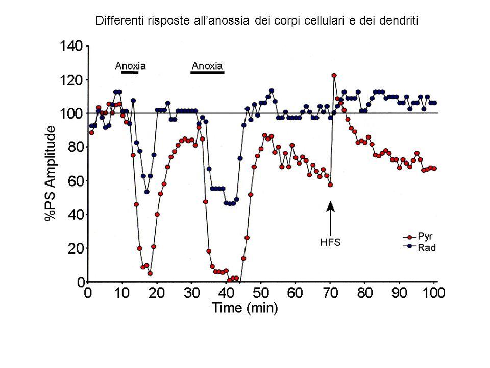 Differenti risposte allanossia dei corpi cellulari e dei dendriti
