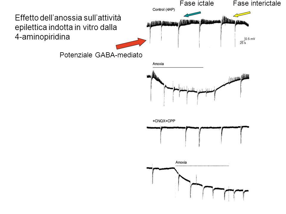 Effetto dellanossia sullattività epilettica indotta in vitro dalla 4-aminopiridina Potenziale GABA-mediato Fase ictaleFase interictale