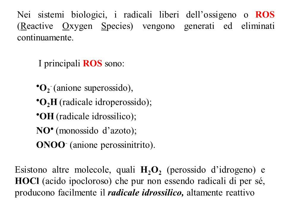 I principali ROS sono: O 2 - (anione superossido), O 2 H (radicale idroperossido); OH (radicale idrossilico); NO (monossido dazoto); ONOO - (anione pe