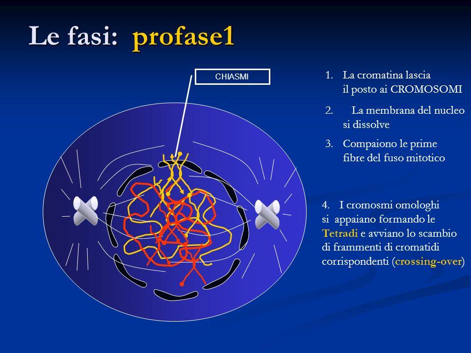 Le fasi: profase1 1.La cromatina lascia il posto ai CROMOSOMI 2. La membrana del nucleo si dissolve 3.Compaiono le prime fibre del fuso mitotico 4.I c