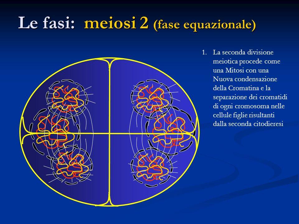 Le fasi: meiosi 2 (fase equazionale) 1.La seconda divisione meiotica procede come una Mitosi con una Nuova condensazione della Cromatina e la separazi