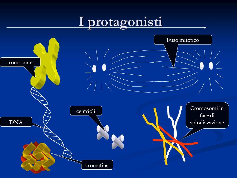I protagonisti I protagonisti DNA cromosoma centrioli Fuso mitotico Cromosomi in fase di spiralizzazione cromatina