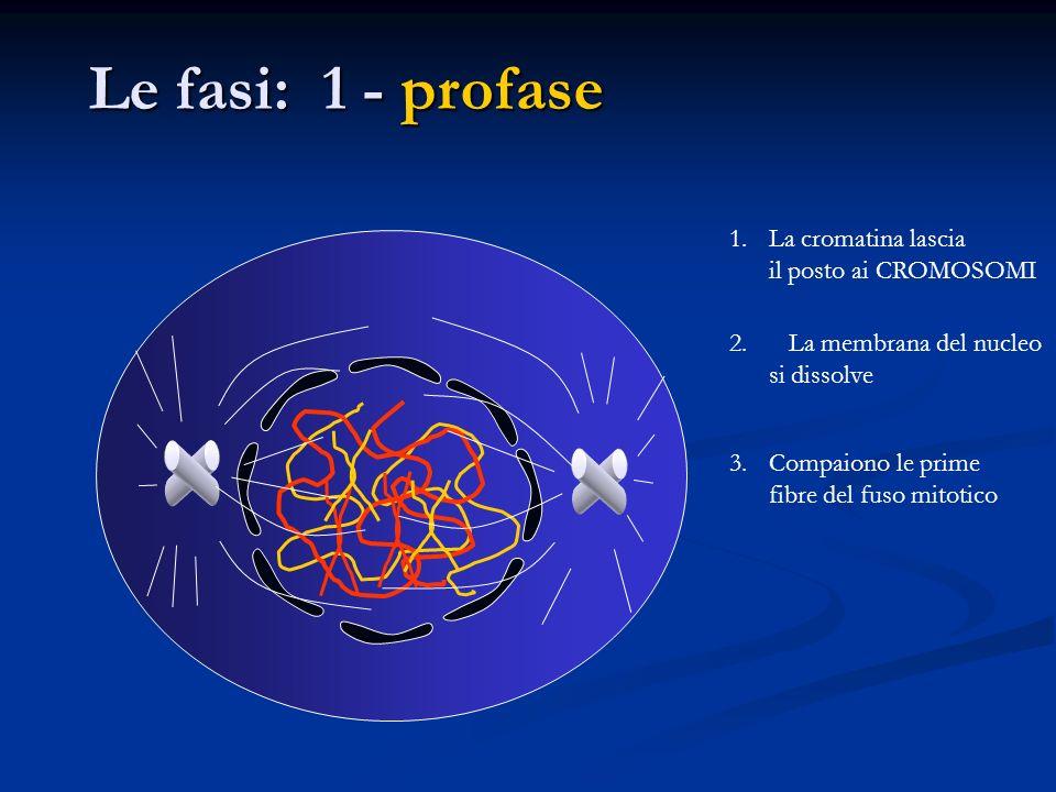 Le fasi: 1 - profase 1.La cromatina lascia il posto ai CROMOSOMI 2. La membrana del nucleo si dissolve 3.Compaiono le prime fibre del fuso mitotico