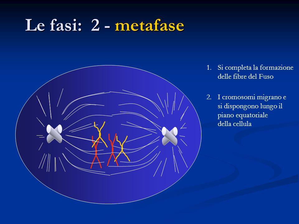 1.Si completa la formazione delle fibre del Fuso 2.I cromosomi migrano e si dispongono lungo il piano equatoriale della cellula Le fasi: 2 - metafase