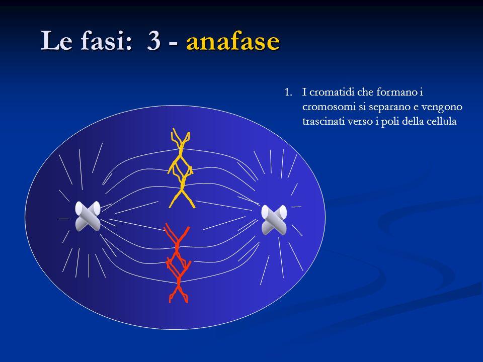 Le fasi: 3 - anafase 1.I cromatidi che formano i cromosomi si separano e vengono trascinati verso i poli della cellula