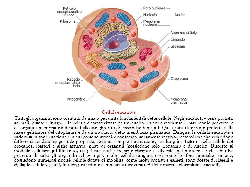 Cellula eucariote Tutti gli organismi sono costituiti da una o più unità fondamentali dette cellule. Negli eucarioti – ossia protisti, animali, piante
