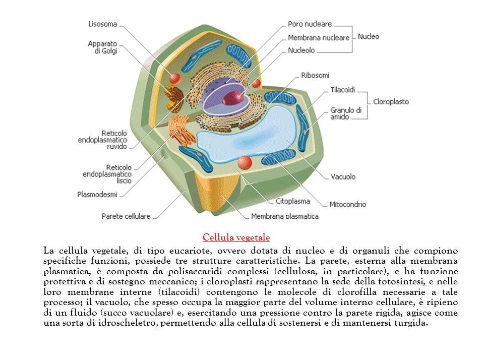 Cellula vegetale La cellula vegetale, di tipo eucariote, ovvero dotata di nucleo e di organuli che compiono specifiche funzioni, possiede tre struttur