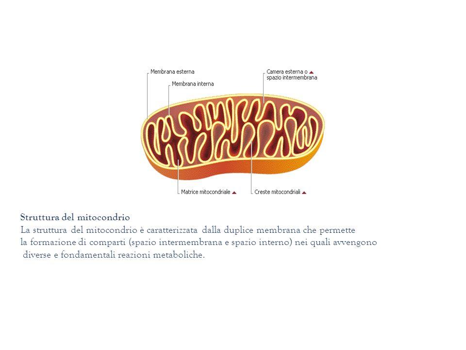 Struttura del mitocondrio La struttura del mitocondrio è caratterizzata dalla duplice membrana che permette la formazione di comparti (spazio intermem