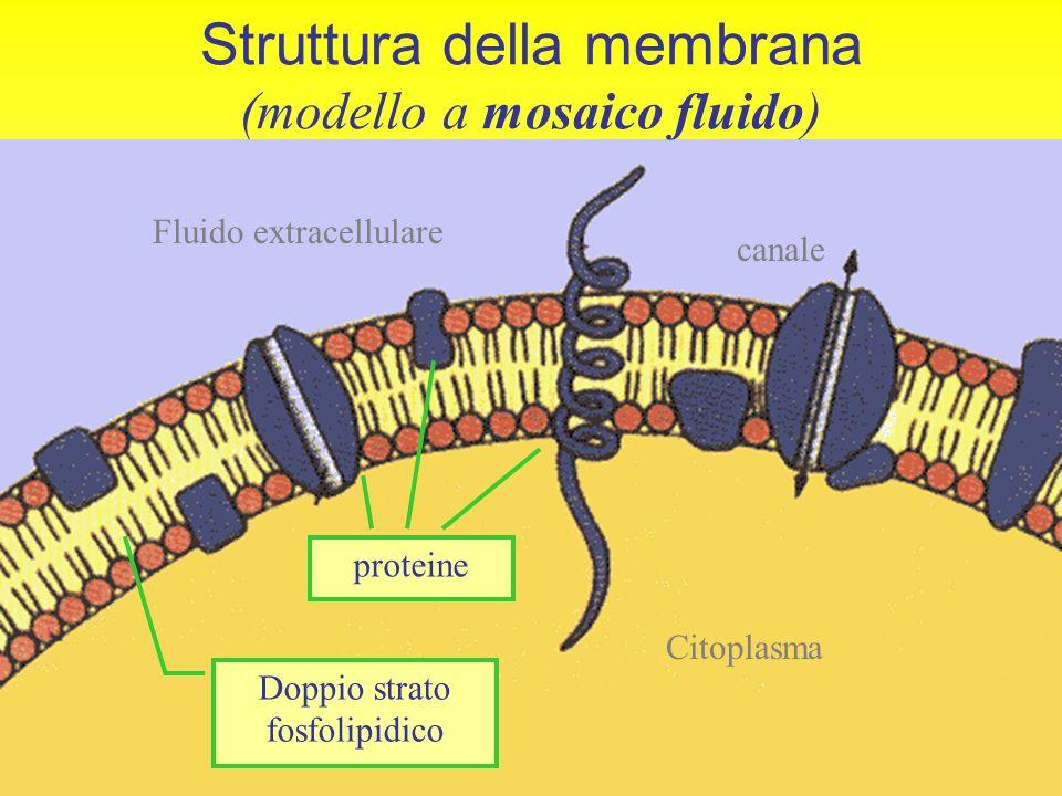 5 DOPPIO STRATO FOSFOLIPIDICO coda non polare (idrofoba) testa polare (idrofila) …acqua… sigillo impermeabile