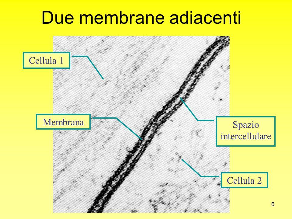 27 Certi composti (troppo grandi per passare attraverso i canali di membrana) possono essere passivamente trasportati da PROTEINE VETTRICI Diffusione facilitata
