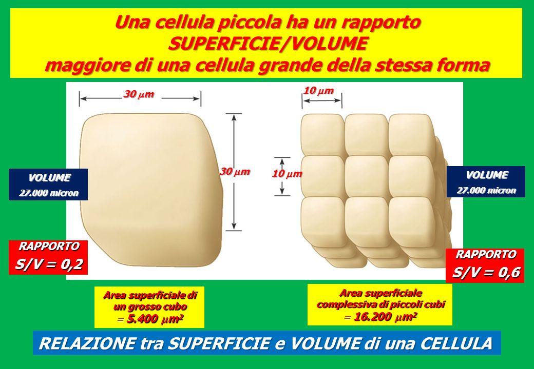 Una cellula piccola ha un rapporto SUPERFICIE/VOLUME maggiore di una cellula grande della stessa forma 30 m 10 m 30 m 10 m Area superficiale di un gro