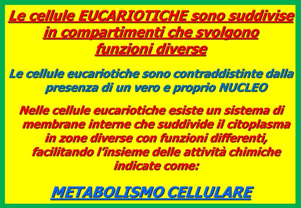 Le cellule EUCARIOTICHE sono suddivise in compartimenti che svolgono funzioni diverse Le cellule eucariotiche sono contraddistinte dalla presenza di u
