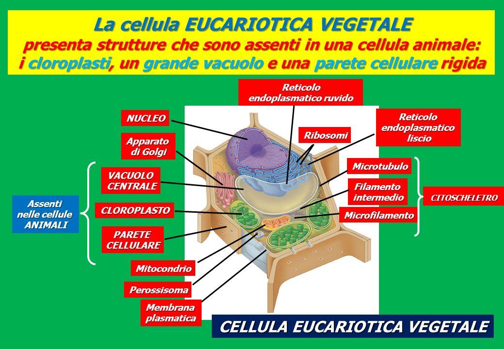 La cellula EUCARIOTICA VEGETALE presenta strutture che sono assenti in una cellula animale: i cloroplasti, un grande vacuolo e una parete cellulare ri