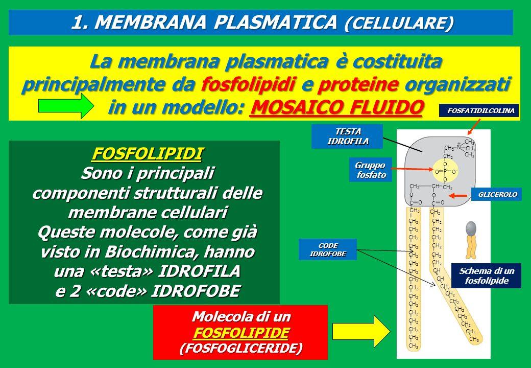 La membrana plasmatica è costituita principalmente da fosfolipidi e proteine organizzati in un modello: MOSAICO FLUIDO Molecola di un FOSFOLIPIDE (FOS