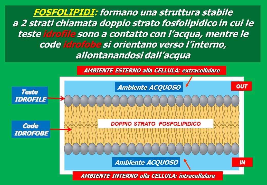 FOSFOLIPIDI: formano una struttura stabile a 2 strati chiamata doppio strato fosfolipidico in cui le teste idrofile sono a contatto con lacqua, mentre