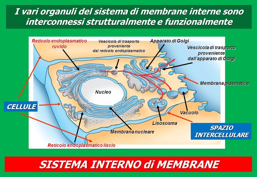 I vari organuli del sistema di membrane interne sono interconnessi strutturalmente e funzionalmente Nucleo Reticolo endoplasmatico liscio Membrana nuc