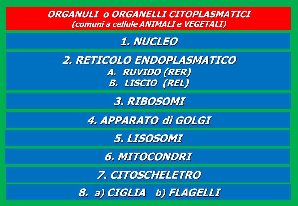 ORGANULI o ORGANELLI CITOPLASMATICI (comuni a cellule ANIMALI e VEGETALI) 1. NUCLEO 2. RETICOLO ENDOPLASMATICO A.RUVIDO (RER) B.LISCIO (REL) 3. RIBOSO