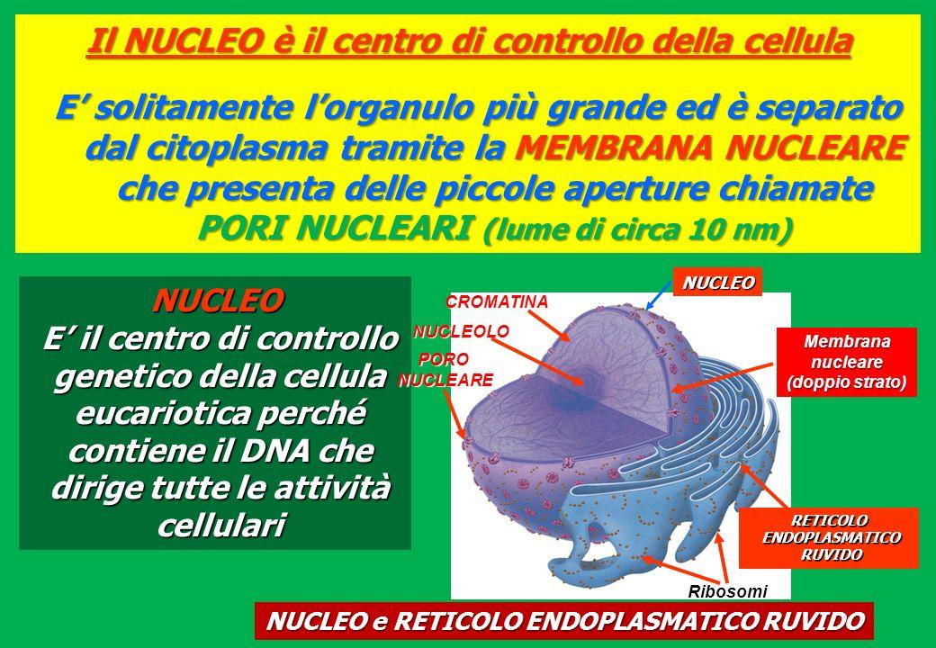 Il NUCLEO è il centro di controllo della cellula E solitamente lorganulo più grande ed è separato dal citoplasma tramite la MEMBRANA NUCLEARE che pres