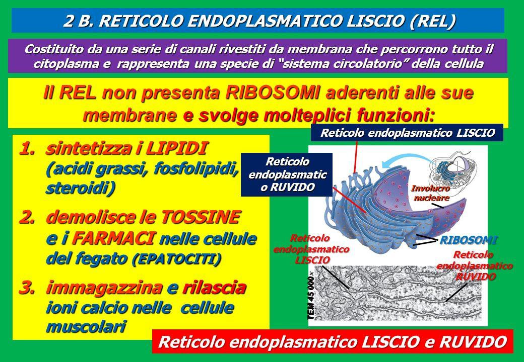 Il REL non presenta RIBOSOMI aderenti alle sue membrane e svolge molteplici funzioni: 1.sintetizza i LIPIDI (acidi grassi, fosfolipidi, steroidi) 2.de