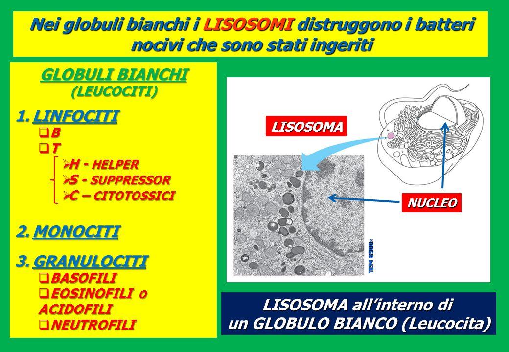 Nei globuli bianchi i LISOSOMI distruggono i batteri nocivi che sono stati ingeriti LISOSOMA allinterno di un GLOBULO BIANCO (Leucocita) LISOSOMA NUCL