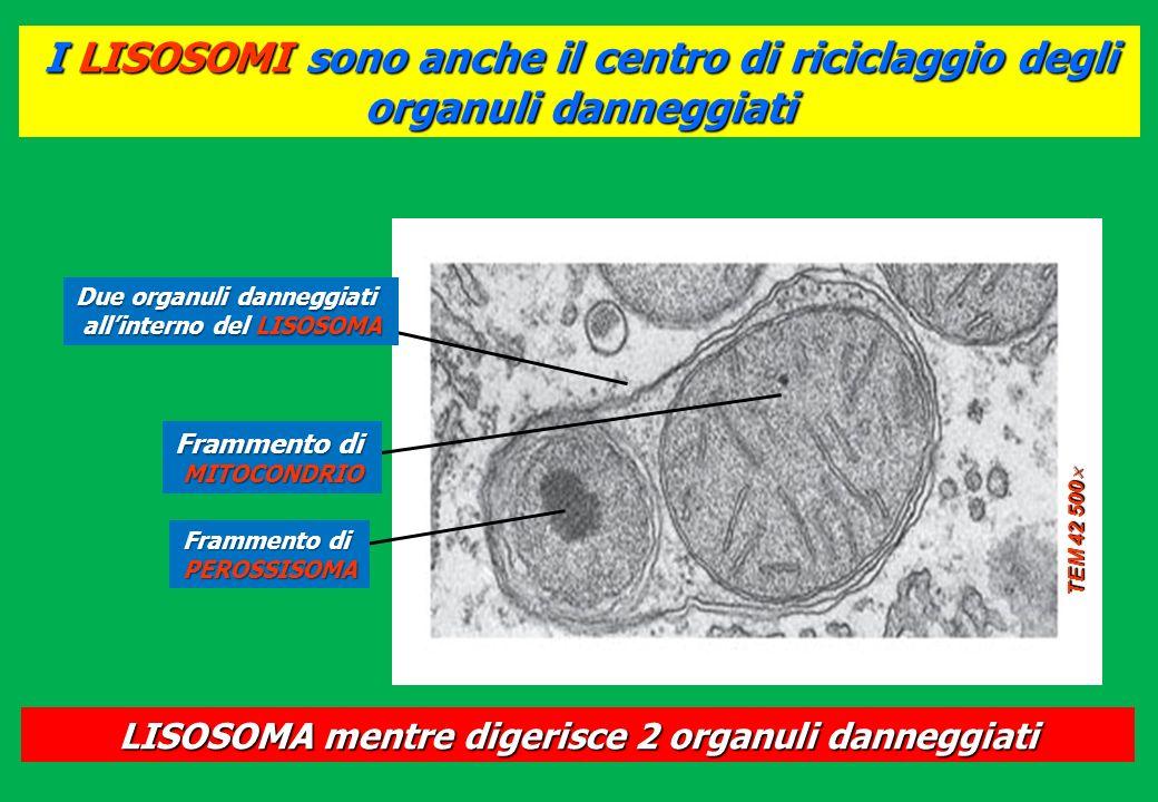 I LISOSOMI sono anche il centro di riciclaggio degli organuli danneggiati TEM 42 500 TEM 42 500 Due organuli danneggiati allinterno del LISOSOMA Framm