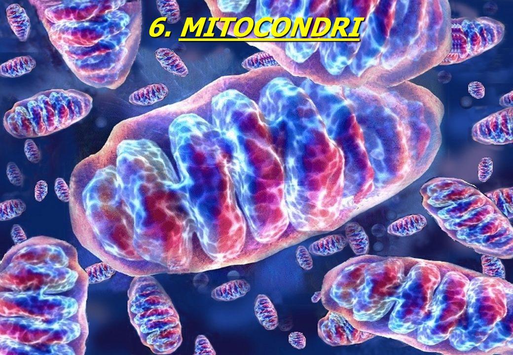 6. MITOCONDRI