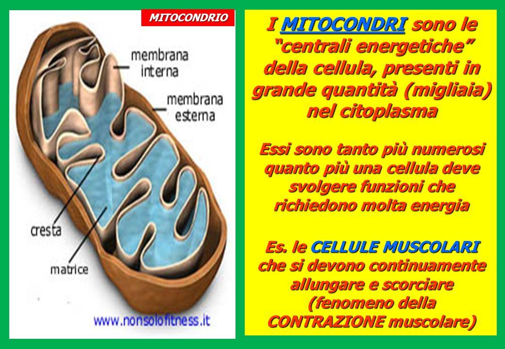 I MITOCONDRI sono le centrali energetiche della cellula, presenti in grande quantità (migliaia) nel citoplasma Essi sono tanto più numerosi quanto più