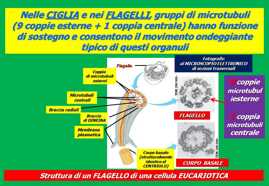 Nelle CIGLIA e nei FLAGELLI, gruppi di microtubuli (9 coppie esterne + 1 coppia centrale) hanno funzione di sostegno e consentono il movimento ondeggi