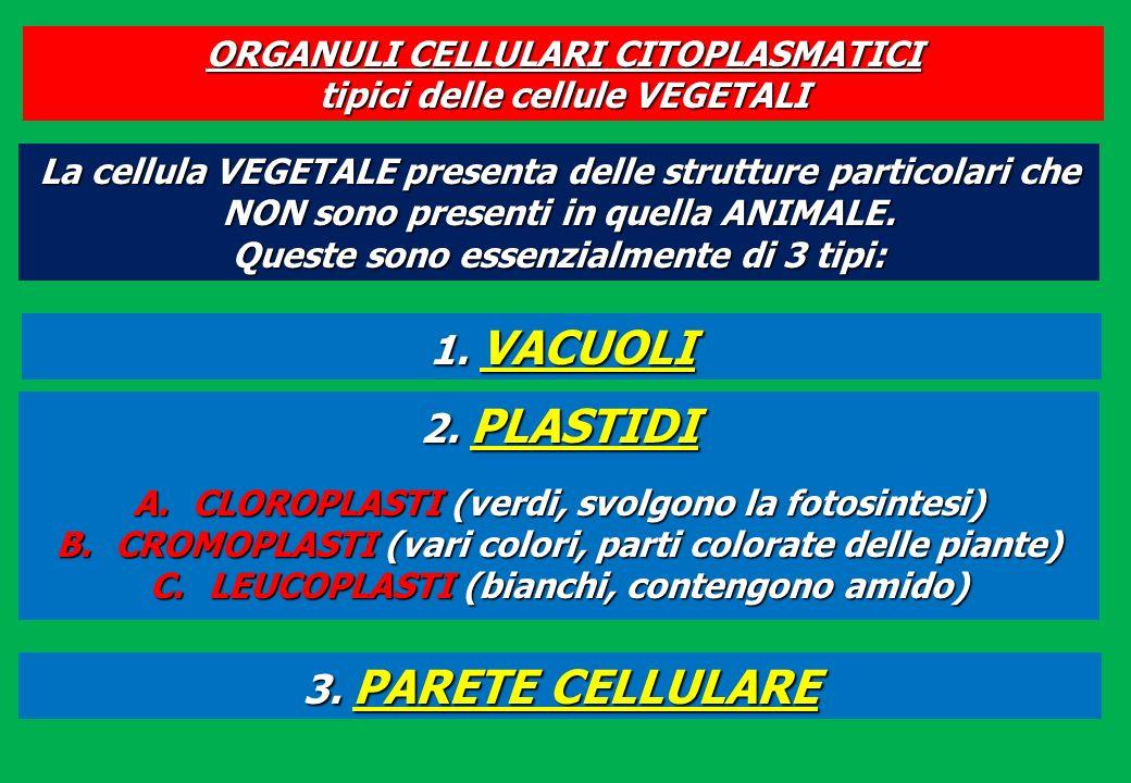 ORGANULI CELLULARI CITOPLASMATICI tipici delle cellule VEGETALI 1. VACUOLI 3. PARETE CELLULARE 2. PLASTIDI A.CLOROPLASTI (verdi, svolgono la fotosinte