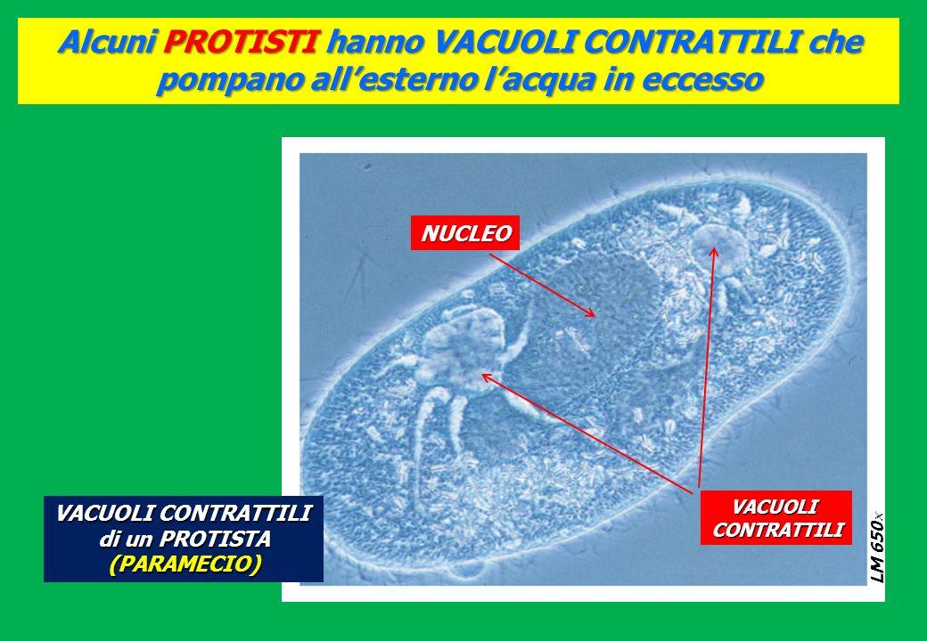 Alcuni PROTISTI hanno VACUOLI CONTRATTILI che pompano allesterno lacqua in eccesso LM 650 LM 650 NUCLEO VACUOLICONTRATTILI VACUOLI CONTRATTILI di un P