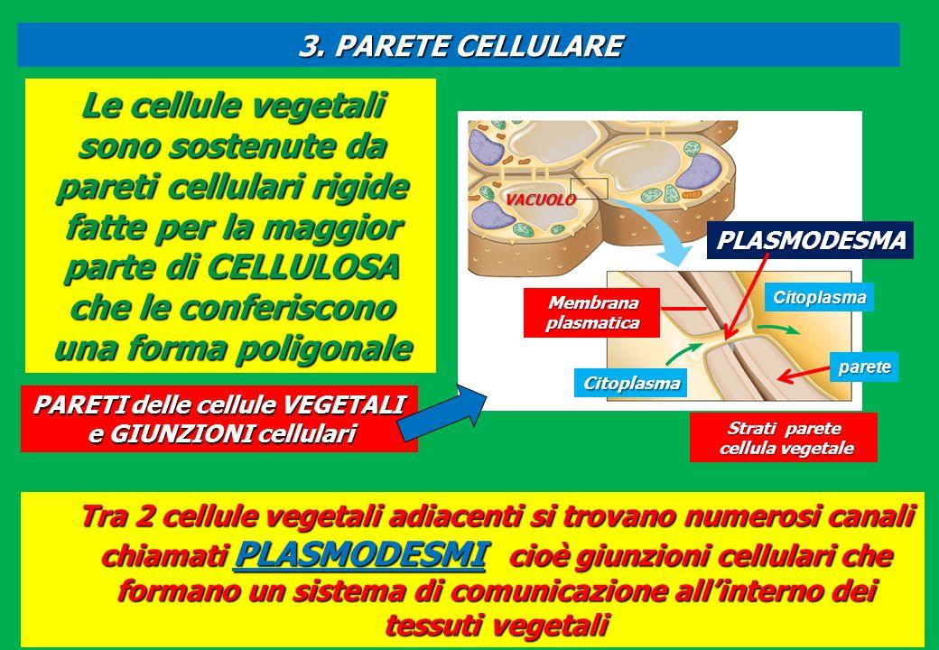3. PARETE CELLULARE Membrana plasmatica Citoplasma PLASMODESMA VACUOLO Strati parete cellula vegetale cellula vegetale Le cellule vegetali sono sosten