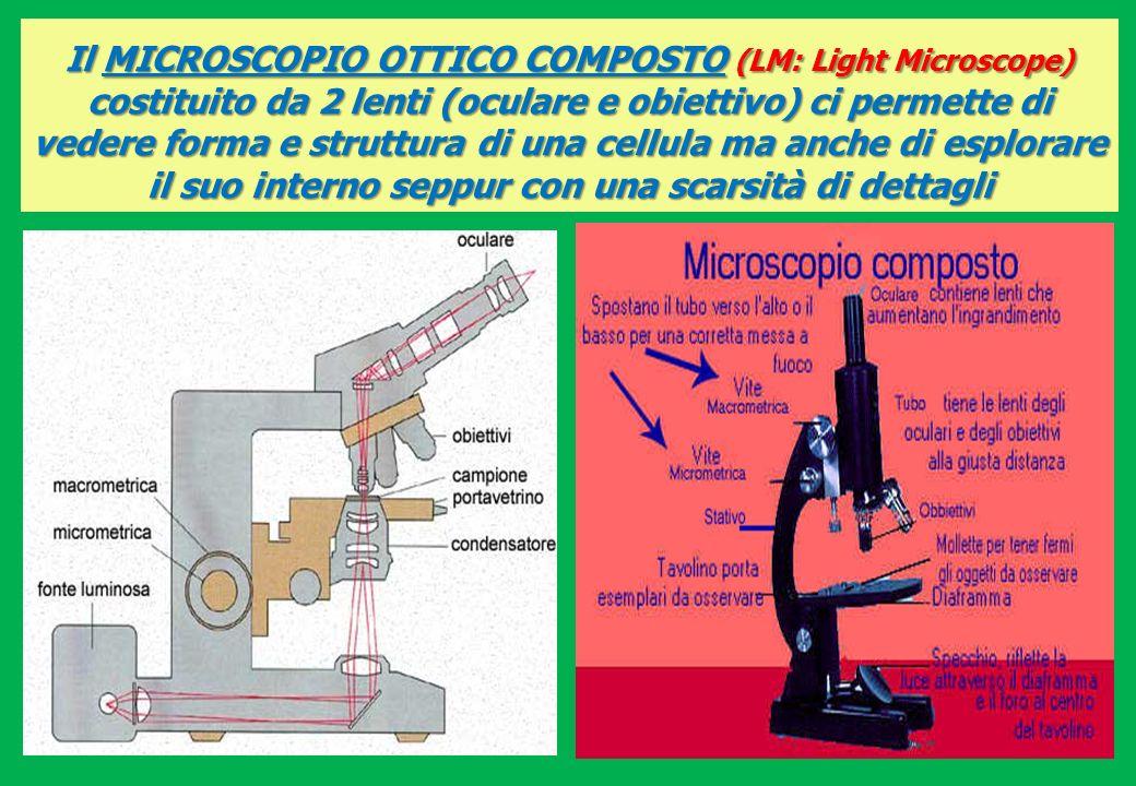 MICROSCOPI OTTICI: ingrandiscono le cellule vive e fissate (morte), cioè trattate con il calore e con sostanze coloranti, fino a 1.000 volte le loro dimensioni reali LM 1000 LM 1000 MICROFOTOGRAFIA di un PROTISTA al microscopio ottico: Euglena viridis (alga verde) FLAGELLO (movimento)